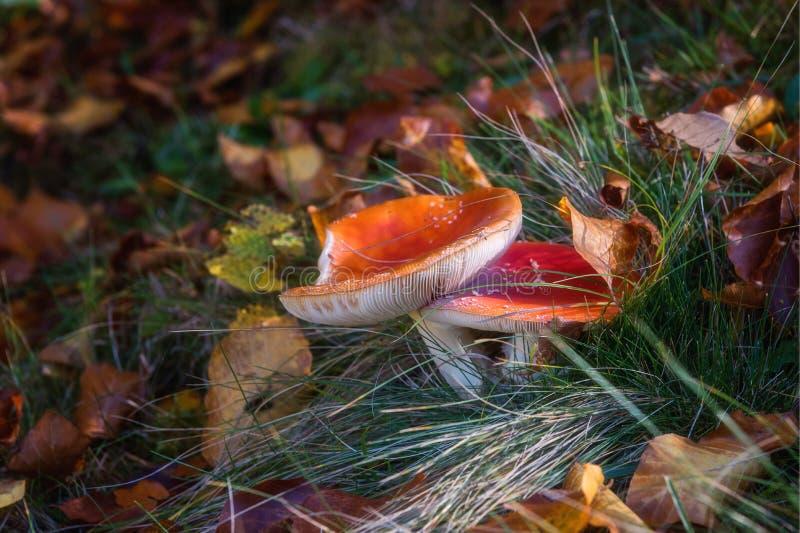 Muscaria d'amanite ou champignons rouges d'agaric de mouche beaux s'élevant dans la forêt illuminée par lumière du soleil, beau f photo stock