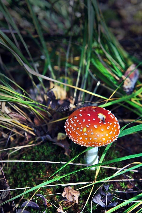 Muscaria dell'amanita in erba in foresta immagini stock libere da diritti