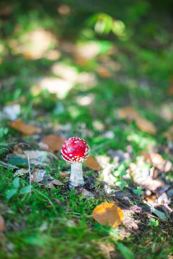 Muscaria dell'amanita Fungo tossico rosso dell'agarico di mosca in foresta immagine stock libera da diritti