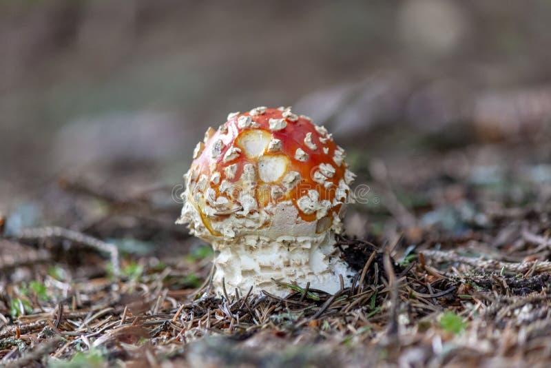 Muscaria dell'amanita nell'erba della foresta fotografia stock