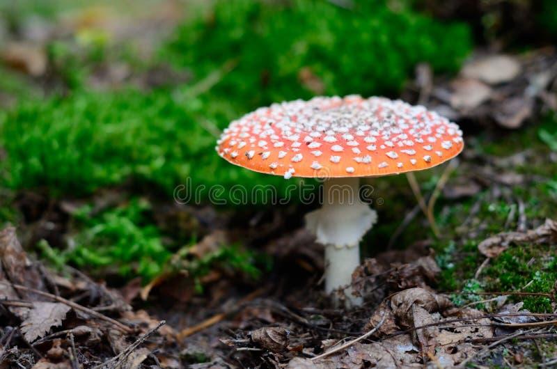 Muscaria dell'amanita nella foresta fotografia stock libera da diritti
