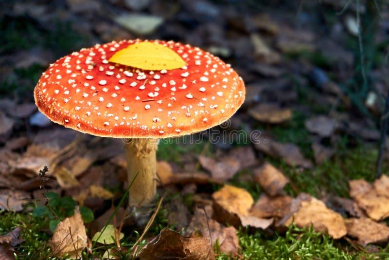 Muscaria do amanita, cogumelo venenoso imagens de stock