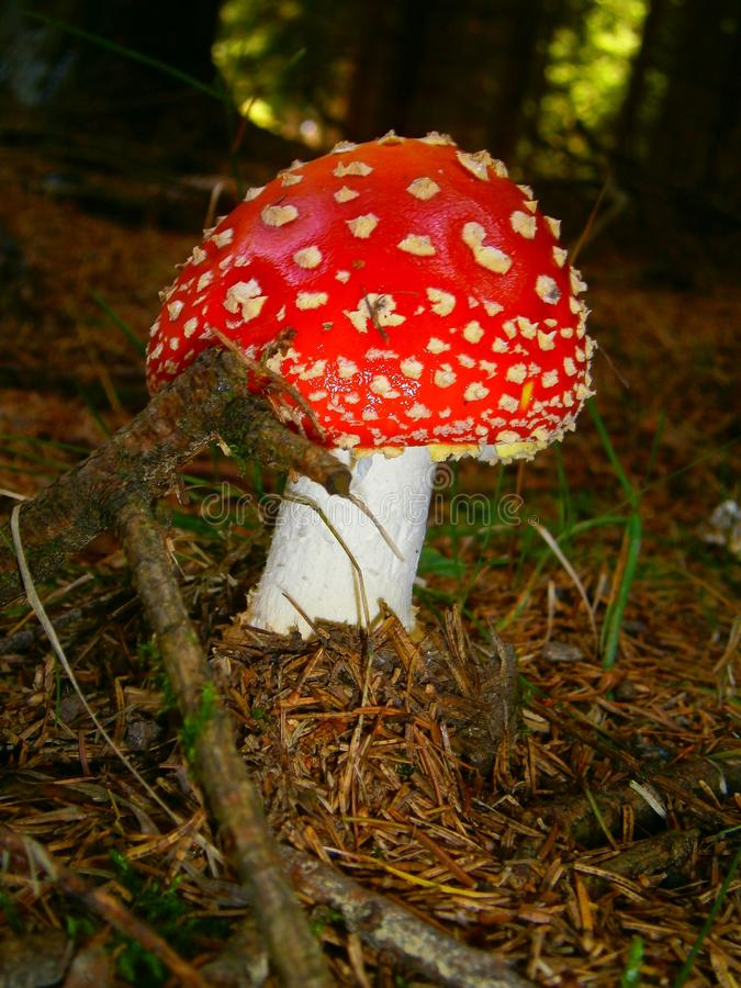 Muscaria do amanita do cogumelo foto de stock royalty free