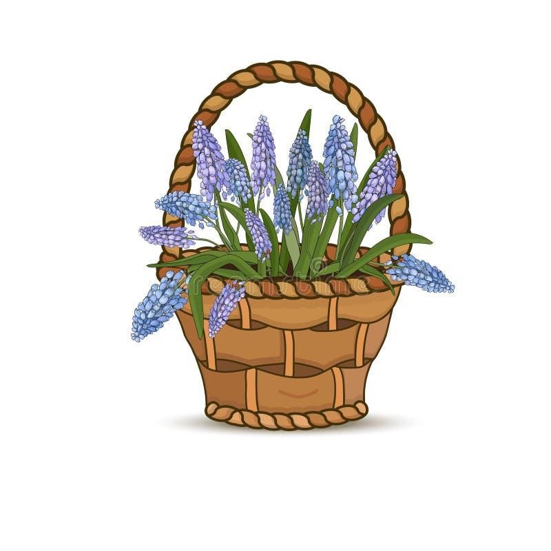 Muscars цветков голубые в корзине цветка на белой предпосылке r иллюстрация вектора