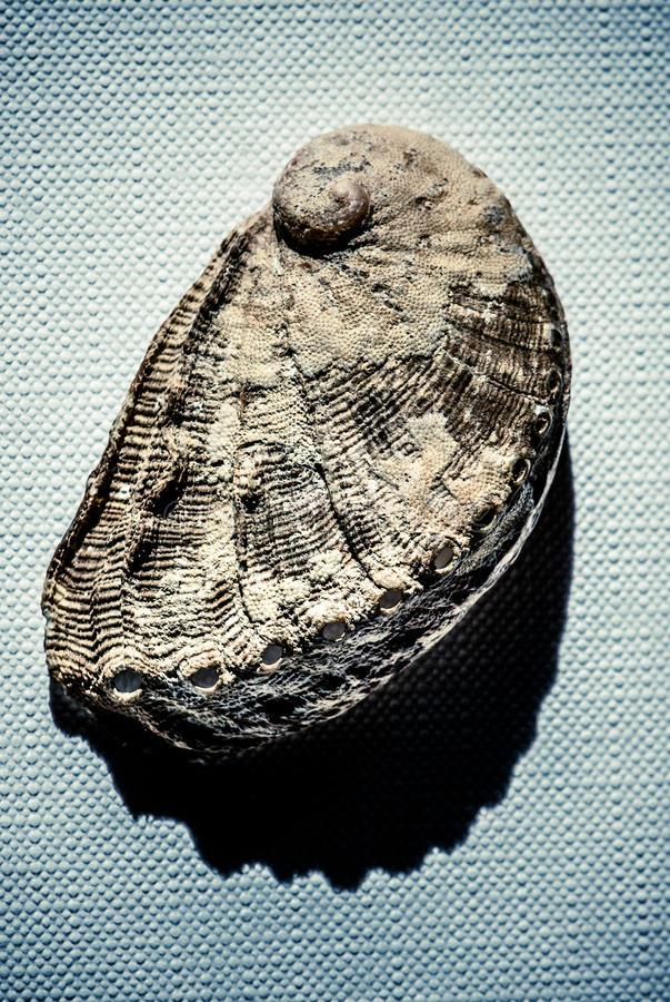 Muschel über Segeltuch lizenzfreies stockbild