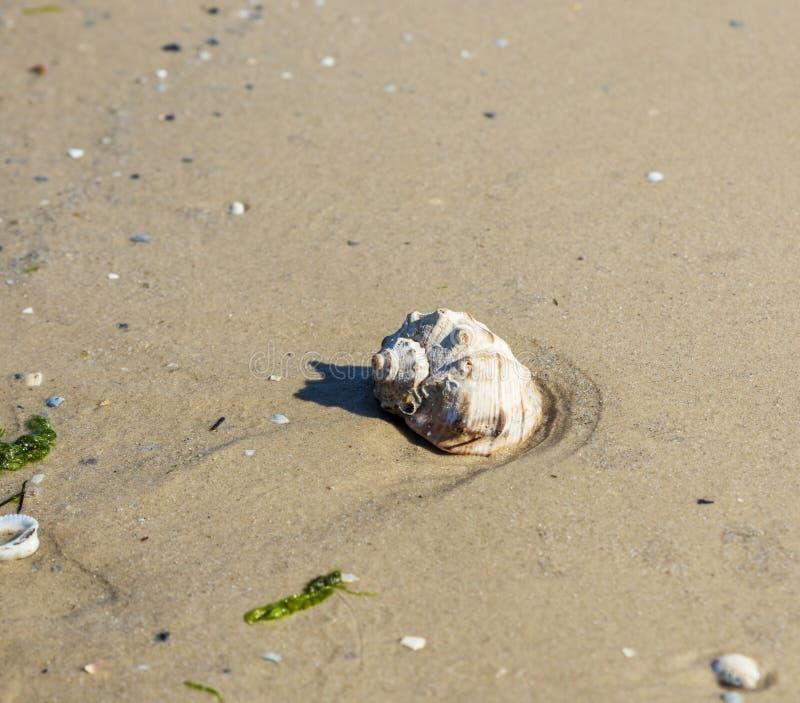 Muschel auf dem sandigen Ufer des Schwarzen Meers lizenzfreie stockfotos