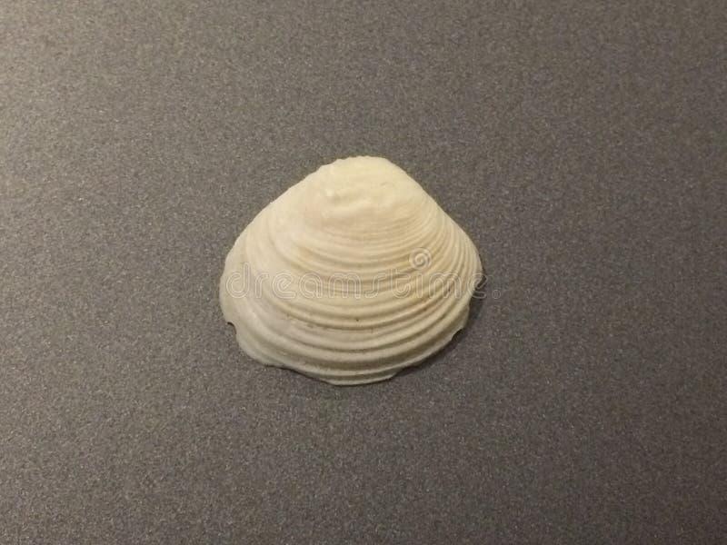 Muschel lokalisiert auf grauem Hintergrund seashell lizenzfreie stockbilder