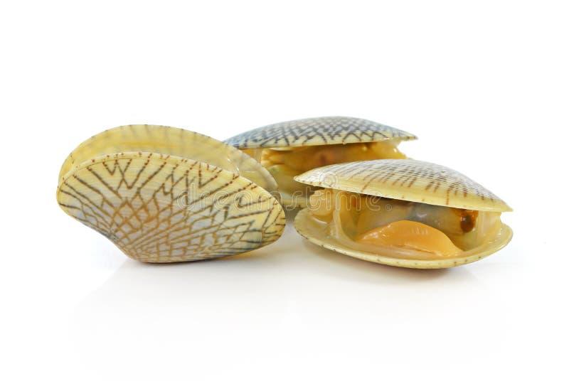 Muscheln auf weißem Hintergrund lizenzfreies stockfoto
