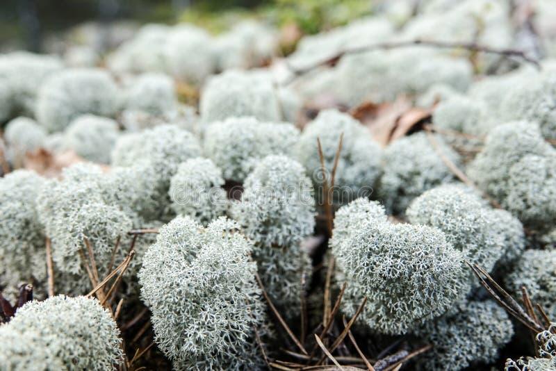 Muschio bianco/muschio artico del lichene/cladonia Stellaris/renna immagini stock libere da diritti