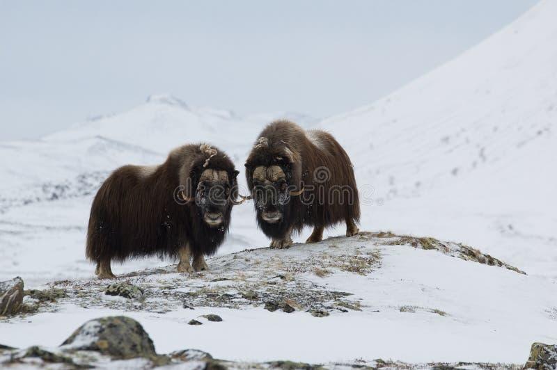 Muschio-bue in inverno immagini stock libere da diritti