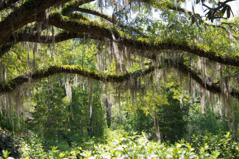 Muschio che pende dagli alberi fotografia stock