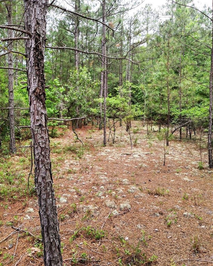Muschio dei pini della foresta degli alberi fotografia stock