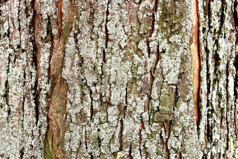 Muschio del primo piano della corteccia di albero fotografie stock