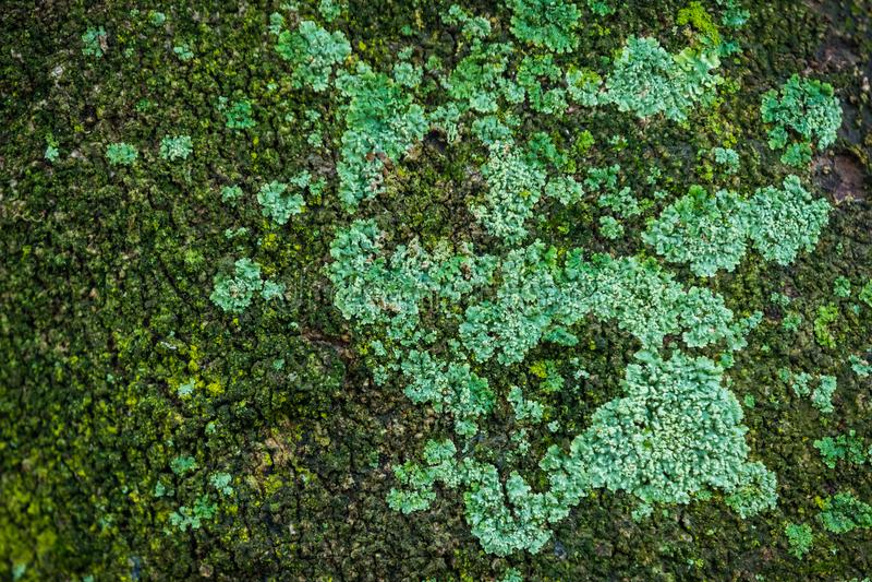 Muschio dell'albero fotografie stock
