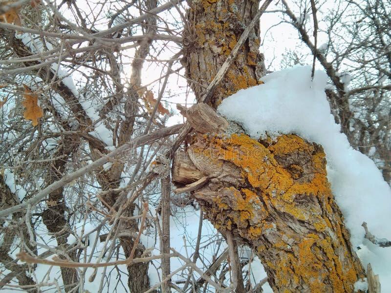 Muschio di Snowy fotografie stock