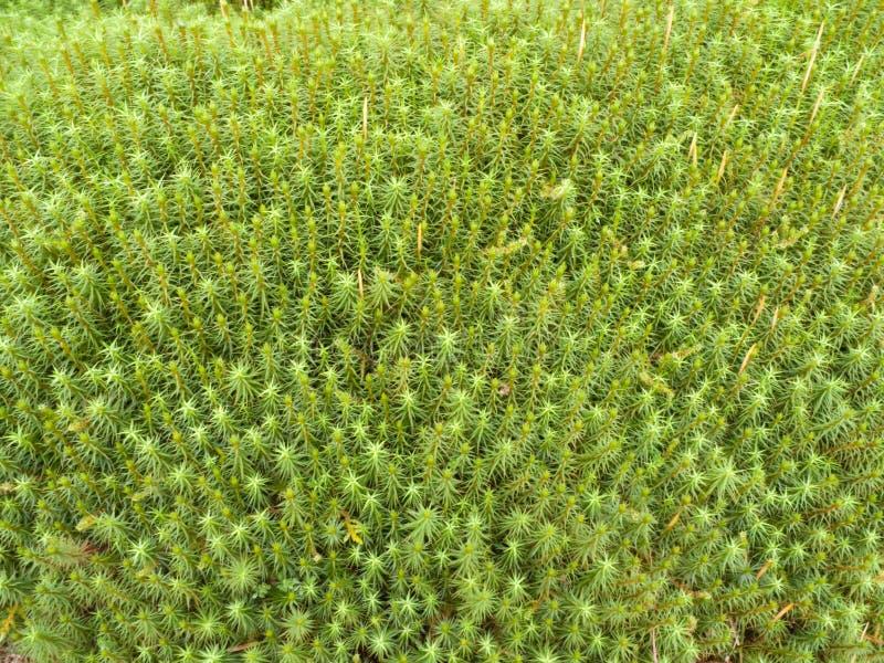 Muschio di Sphagnum fotografia stock libera da diritti