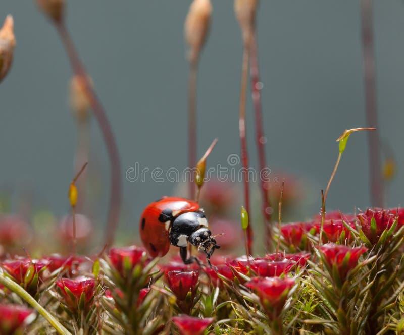 Muschio e coccinella rossi fotografie stock