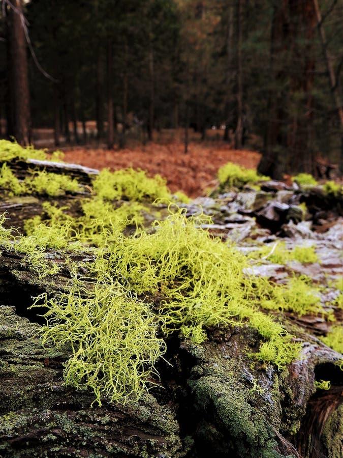 Muschio e lichene sulla corteccia dell'albero caduto in foresta immagini stock libere da diritti