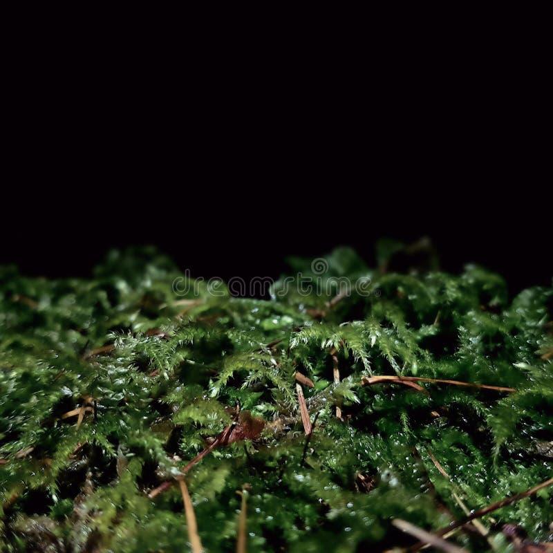 Muschio minuscolo alla macro di notte fotografia stock