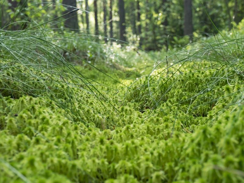 Muschio nella foresta immagini stock