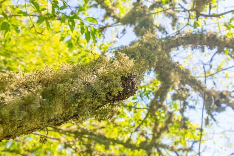 Muschio o lichene peloso che cresce al di sotto di un ramo di albero fotografia stock libera da diritti