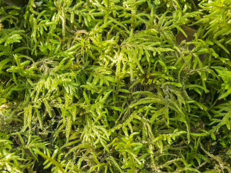 Muschio principale, fresco e verde fotografie stock
