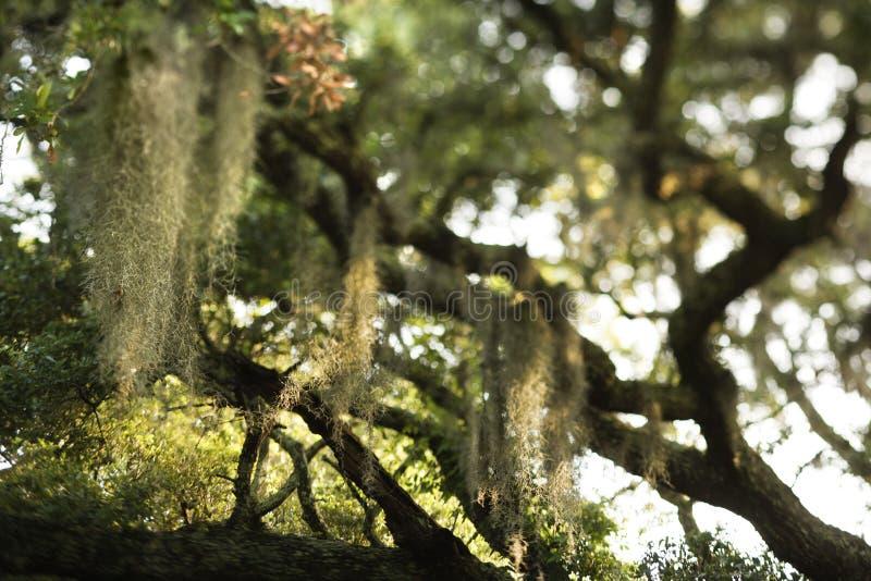 Muschio spagnolo in albero fotografia stock