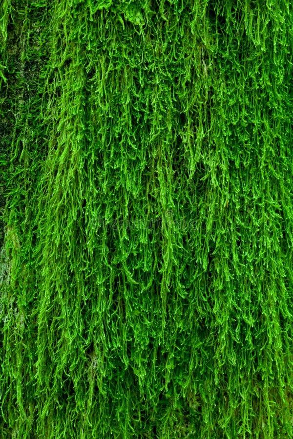 Muschio su una corteccia di albero fotografia stock libera da diritti