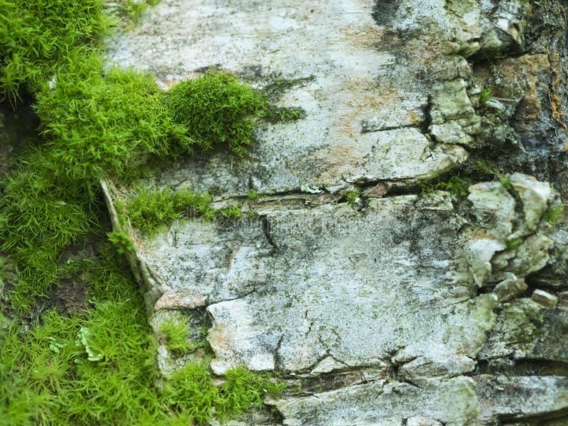 Muschio su una corteccia di betulla immagine stock