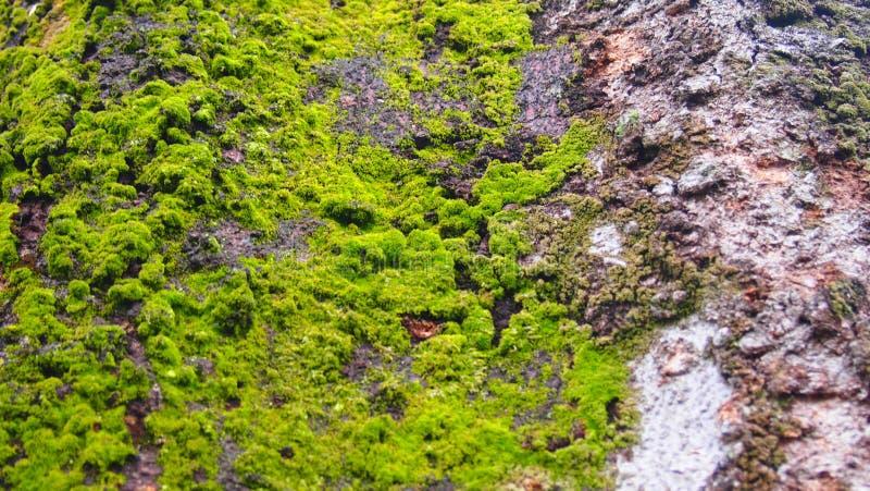 Muschio sugli alberi fotografie stock