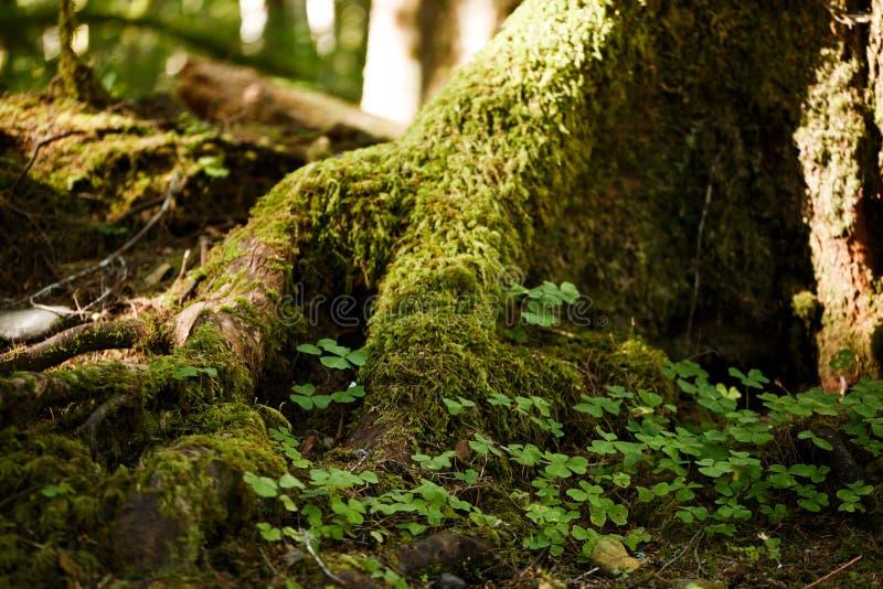 Muschio sugli alberi immagine stock