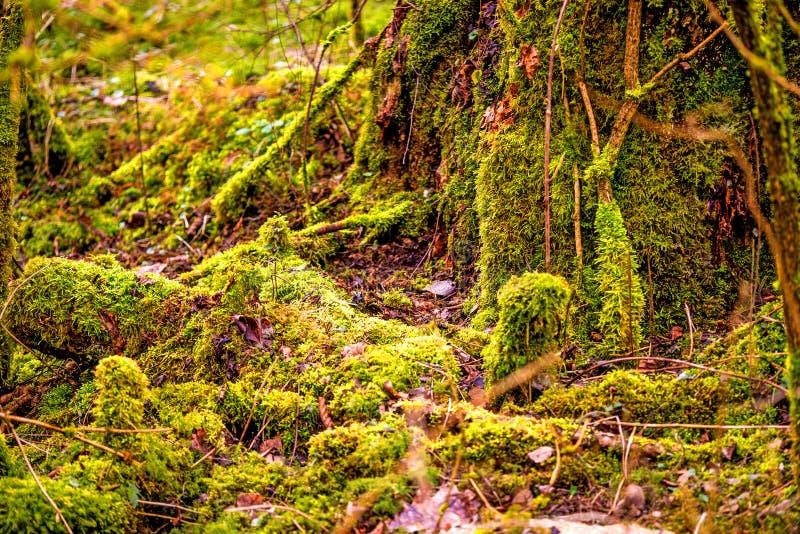 Muschio in una foresta, invasa sopra i tronchi fotografia stock libera da diritti