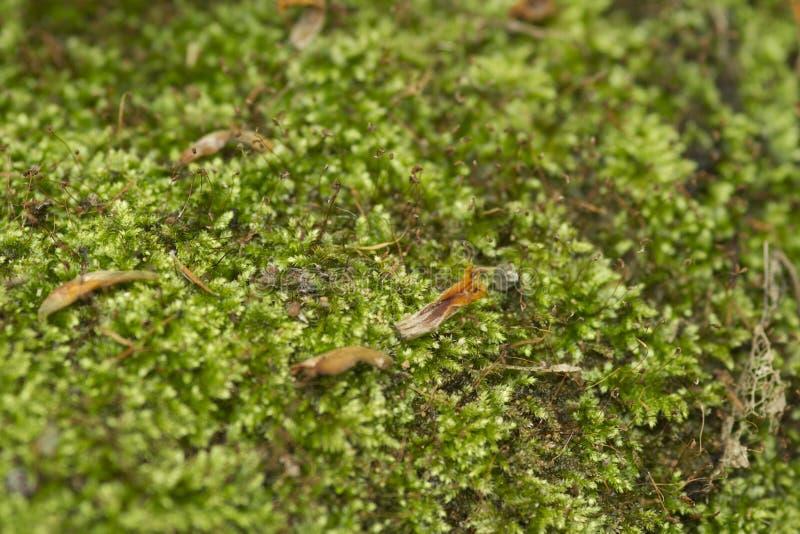 Download Muschio verde fotografia stock. Immagine di flora, closeup - 30829646
