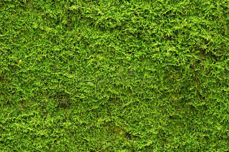 Muschio verde immagine stock libera da diritti