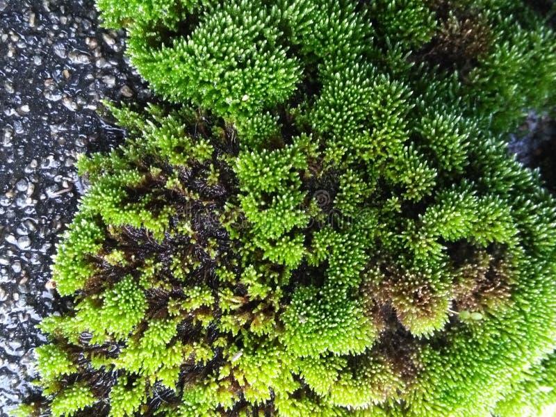 Muschio verde immagine stock