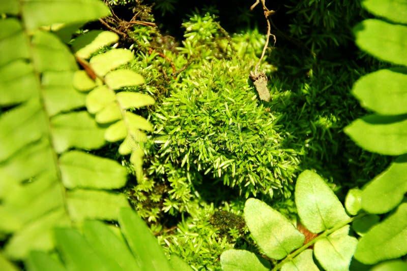 Muschio verde che attacca ad un albero immagini stock
