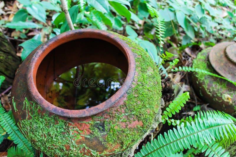 Muschio verde intenso e felce che crescono sul barattolo di terra nel giardino Selezioni il fuoco fotografie stock
