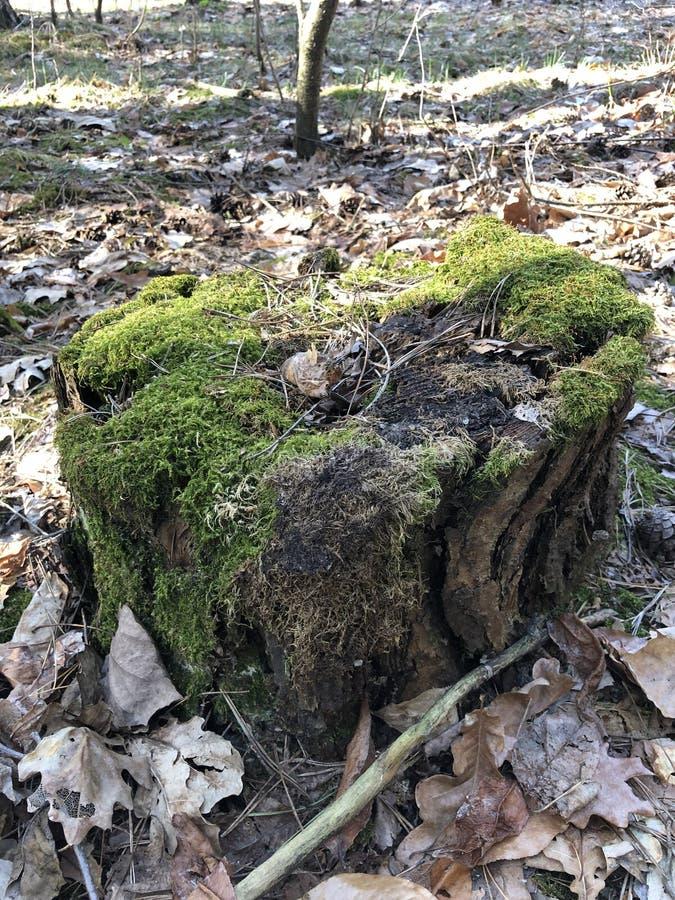 muschio verde su canapa in foresta fotografia stock libera da diritti