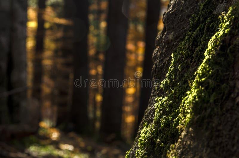 Muschio verde su un grande tronco di albero alla luce di autunno in una foresta scura fotografie stock