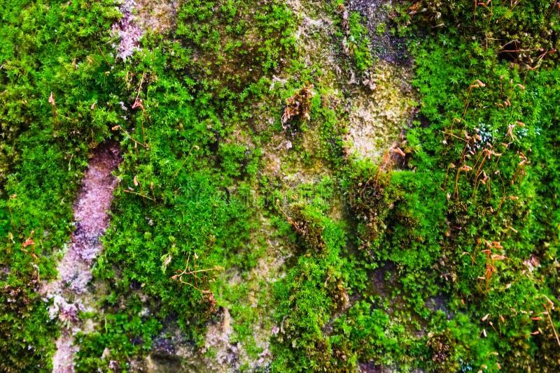 Muschio verde su una parete di pietra grigia fotografia stock libera da diritti