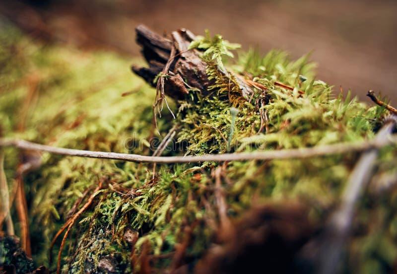 Muschio verde su una vecchia fine del ceppo su immagine stock libera da diritti