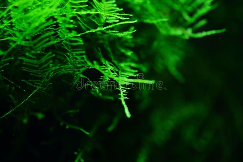 Musci de muscus de lichen de mousse aquatique ; élodées ; l'eau et herbe ; plantes aquatiques ; plante aquatique photo libre de droits