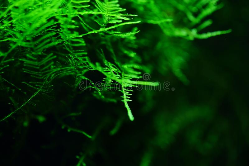 Musci muscus лишайника мха акватическое; waterweeds; вода и трава; водоросли; аквариумное растени стоковое фото rf