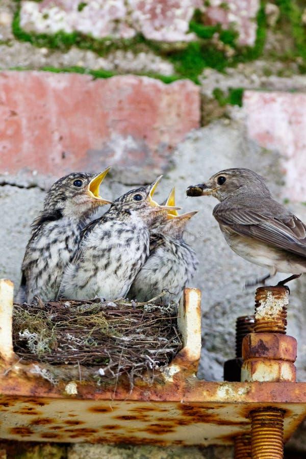 Flycatcher Muscicapa striata royalty free stock photos
