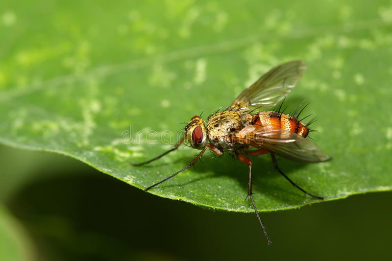 Muscidae insects. Lurking on the green leaf stock images