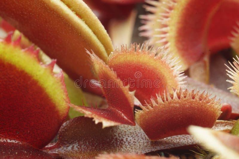 Muscipula de Dionaea photo stock