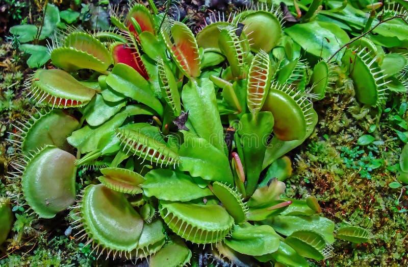Muscipula del Dionaea del atrapamoscas de Venus - depredador, planta insectívora imagen de archivo libre de regalías