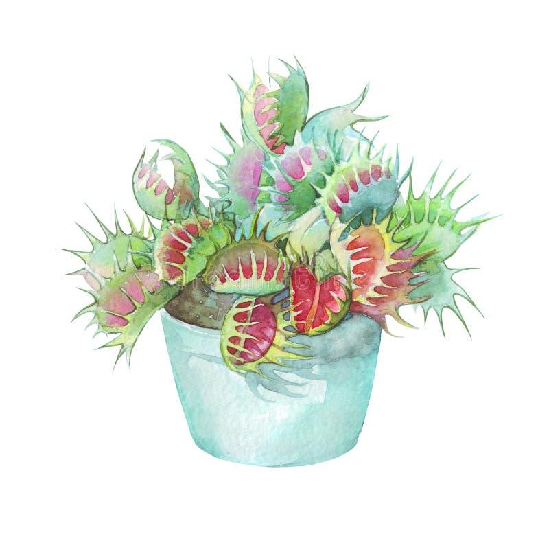 Muscipula del Dionaea en un pote aislado foto de archivo