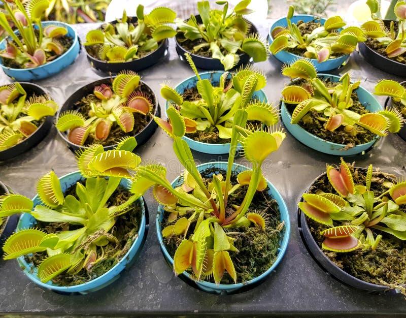Muscipula för Dionaea för Venus flytrap arkivbild