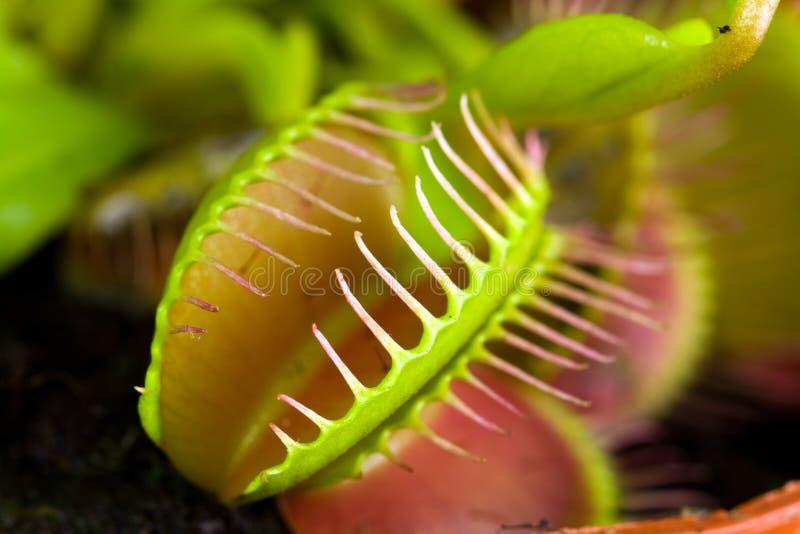 Muscipula van Dionaea, die als flytrap, in close-up wordt bekend, royalty-vrije stock afbeeldingen